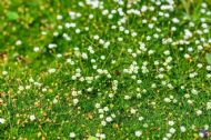 Irish Moss 'Pearlwort' (Sagina Sabulata) - 200 Seeds